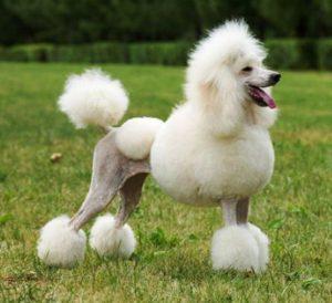 poodle-grooming